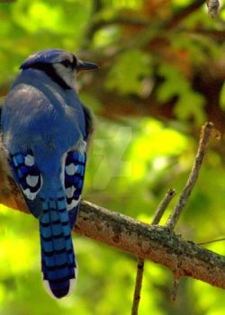 BlueJay by LadyPhotographer492