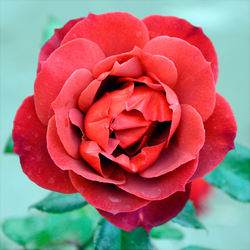Soft Red Rose by claytonbruster