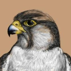 Falcon Drawing by solarith