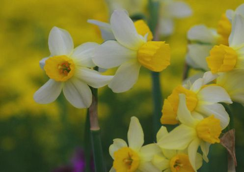Jonquil by barcon53