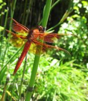 Orange Dragonfly by TheDementedLord