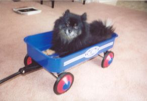 Fluffy In A Wagon by itsayskeds