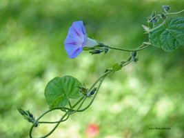 Morning Glory Vine by Mogrianne