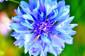 Blue Flower by Crixans