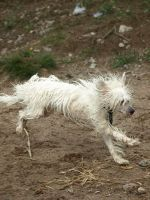 Chinese crested dog male 3 by wakedeadman