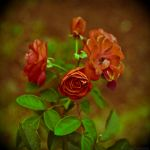 A rose to the living is more by LuciaConstantin