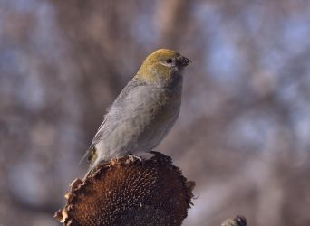 Pine Grosbeak (F) by dove-51