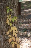 leafs on tree trunk by Cindycs4