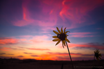 Fall Flower After Sunset by diantc333