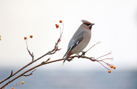Waxwing by MaresaSinclair
