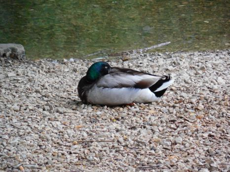 sleeping duck by Sally78