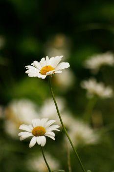 Oxeye daisies 03 by Golden-Plated