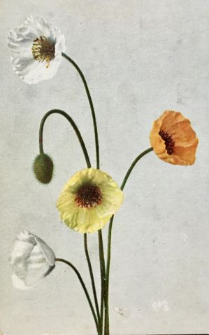 Rocky Mountain Wildflowers - Icelandic Poppies by Yesterdays-Paper