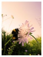 bumble bee by csaby1 by Ro-nature
