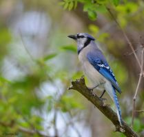 Blue Ma(Jay)Sty by TerribleTer