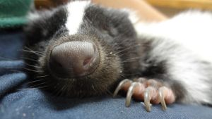 Skunk Nose by AnnaLVG