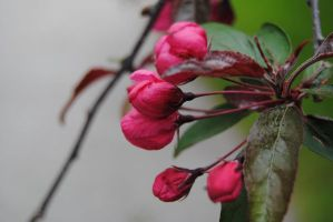2011-05-24 Crab Apple Blossoms by charliemarlowe
