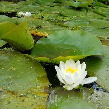 Water lily by Ihabiano