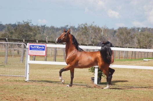 GE Arab bay trot side view proud by Chunga-Stock