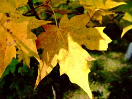 Autumn maple leaves by EugenBehm