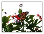 Monarch Butterfly by Kate419882