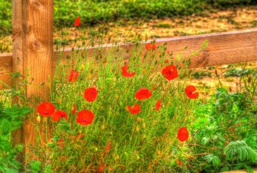 Poppies and Fence... by TheBaldingOne