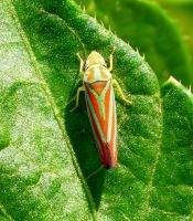Red-banded Leafhopper by duggiehoo
