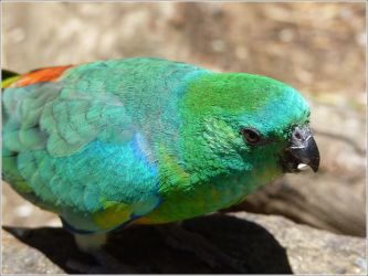 59. Red-rumped Parrot 1 by fire-works
