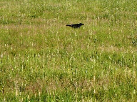 A Crow Left Of The Murder by pipsicle