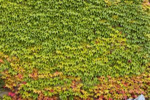 Ivy Texture - 3 by AGF81