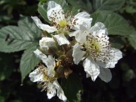 Blackberry blossom by buttercupminiatures