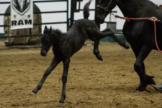 Friesian Foal 4 by CastleGraphics