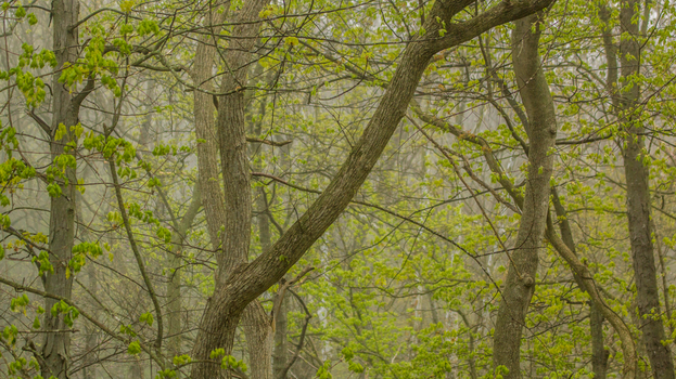Spring trees greening in fog by PompatusOfLove