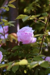Hidden rose by RockTheLife