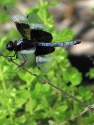Blue dragonfly by DisneyPrincessNeeNee