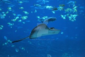 Gaint Sting Ray by KDCSnap