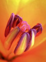 TULIP by Iris-cup