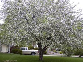 Apple Blossums in my Yard by CelixDog04