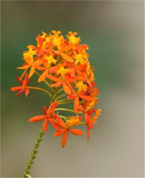 Crucifix  Orchid  IMG 2687 by Firey-Sunset