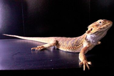 Bearded Dragon Stock 01 by DigitalissSTOCK