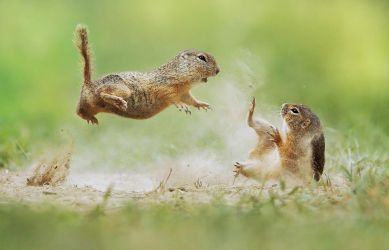 Squirrel Fight by JulianRad