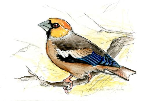 C. coccothraustes by LisaPannek