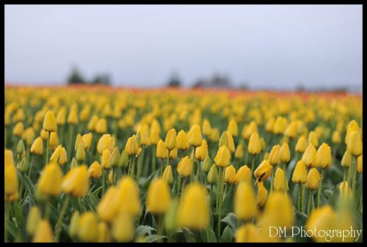 Tulip Town VII by davidmoakes