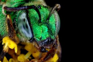Green Sweat Bee by Japers