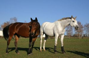 Trotter and Warmblood Stock by LuDa-Stock