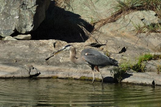 Great Blue Heron by ticklemeimsexy
