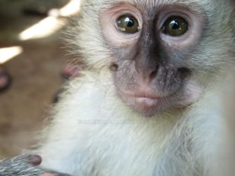 Baby vervet monkey by Rominique