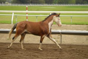 Galloping Paint Horse Tackless by rachellafranchistock