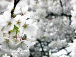 White blossom by Pandannabelle