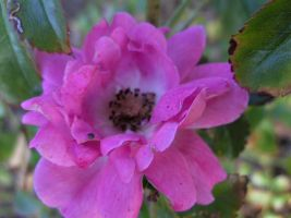 rose5 by voider00